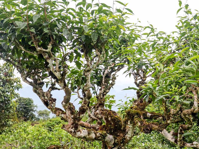 Trà Shan tuyết cổ thụ sinh trưởng và phát triển hoàn toàn tự nhiên