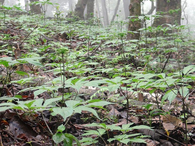 Sâm Ngọc Linh được tìm thấy tại khu vực Trung Trung Bộ Việt Nam, tập trung nhiều ở các huyện miền núi