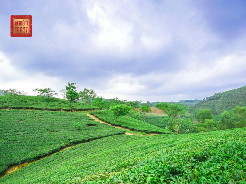 Vùng trà Thái Nguyên