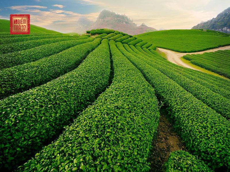 Vùng trà Bảo Lộc – Lâm Đồng