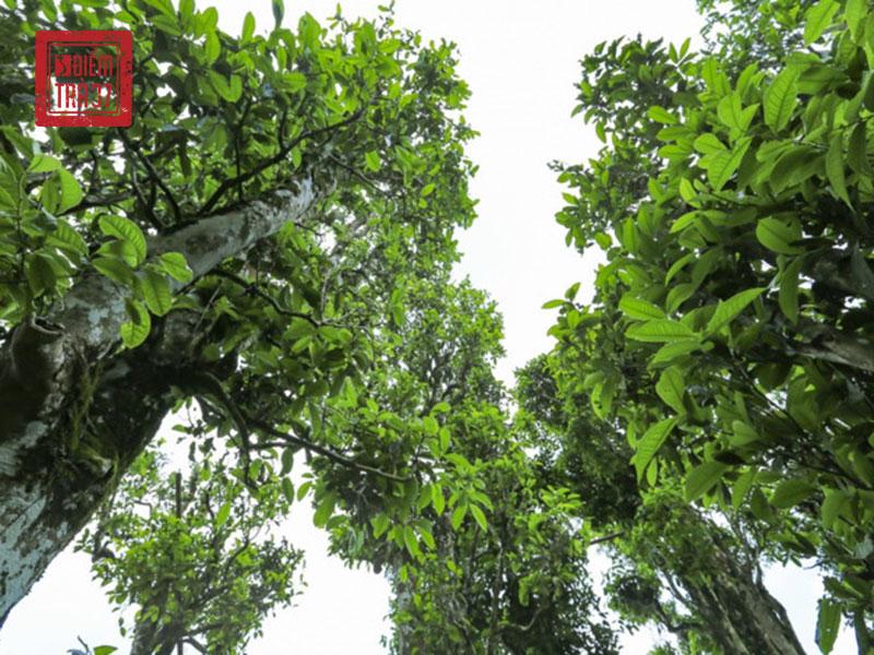 Cây trà cổ thụ tại vùng núi Tây Bắc Việt Nam