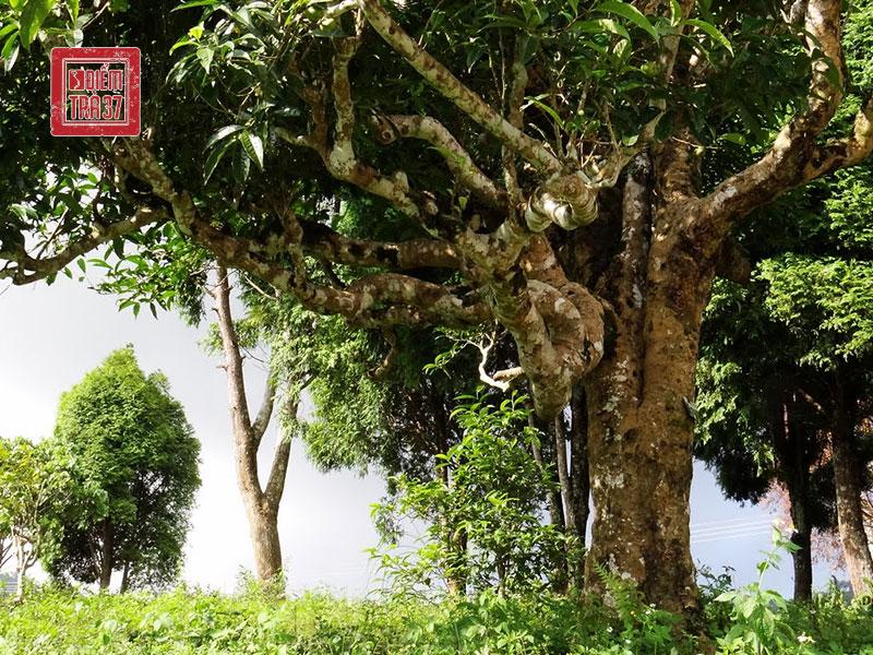 Cây trà cổ thụ vùng Tây Bắc Việt Nam